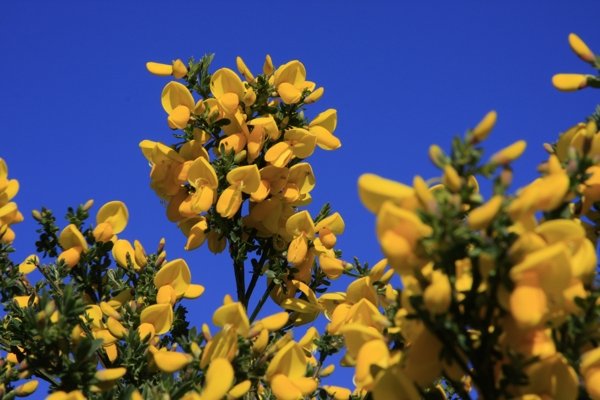 yellow-gorse-Meaning- Love in all seasons