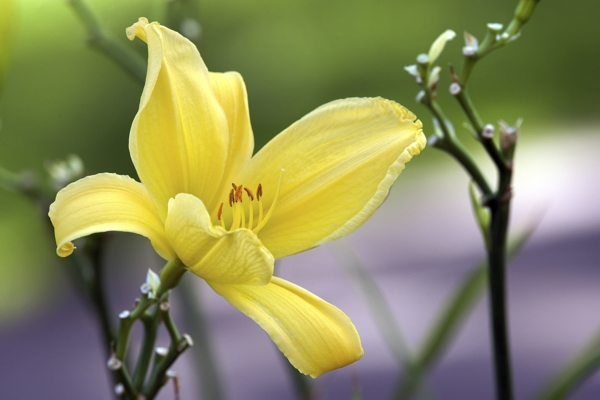 yellow-lily-Meaning- Flirtation, Coquetry