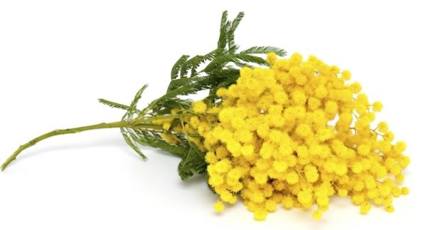 ACACIA, Yellow