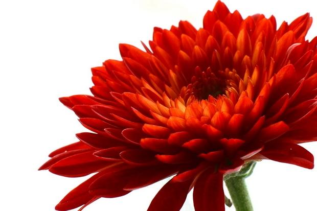 CHRYSANTHEMUM, Red