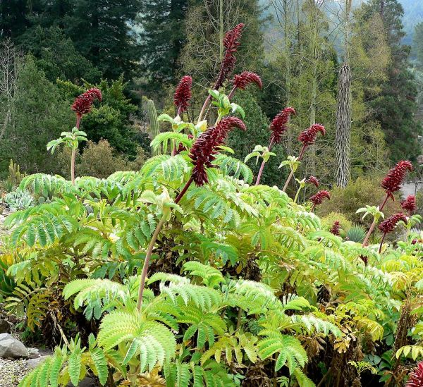Melianthus_major_1