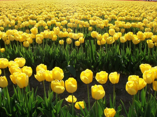 TULIP FIELD YELLOW