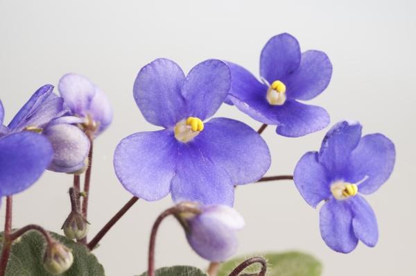 Violet (Blue)