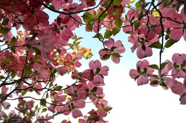 Pink Dogwood - sm 1 -