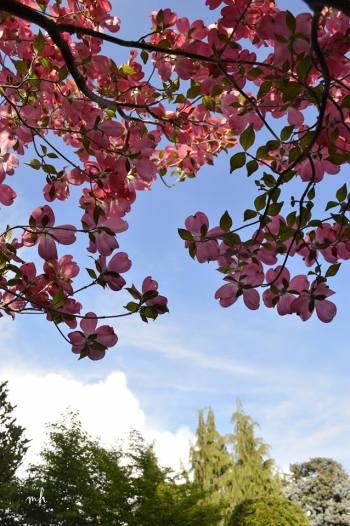 Pink Dogwood - sm -