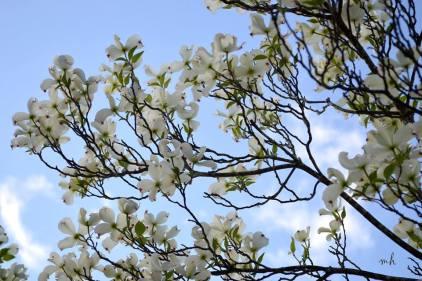 White Dogwood - sm 1-