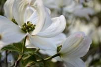 White Dogwood - sm 3-