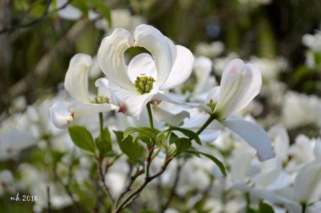 White Dogwood - sm 4-
