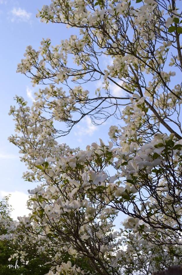 White Dogwood - sm -